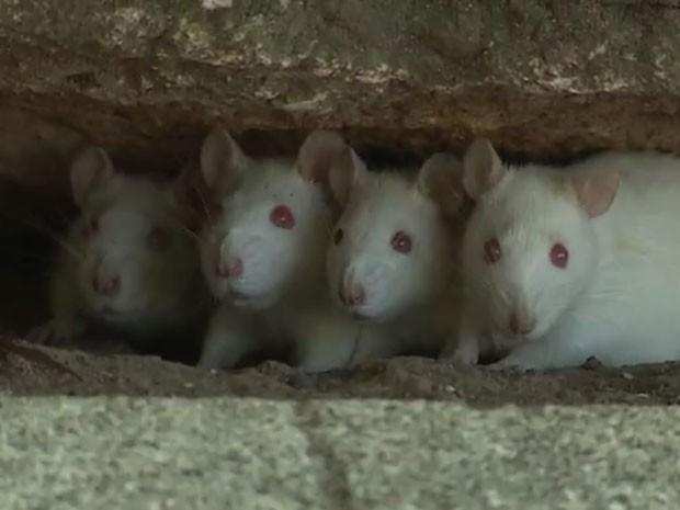 Ratos brancos, Parque Farroupilha, Redenção (Foto: Reprodução/RBS TV)