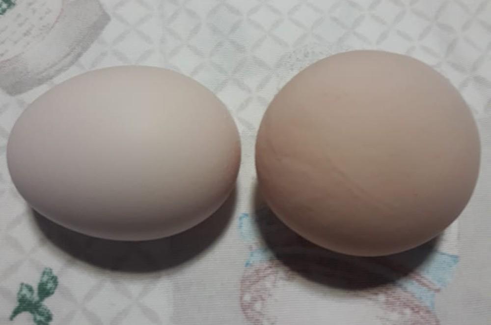 Galinha põe ovo em formato diferente e surpreende proprietário em Criciúma