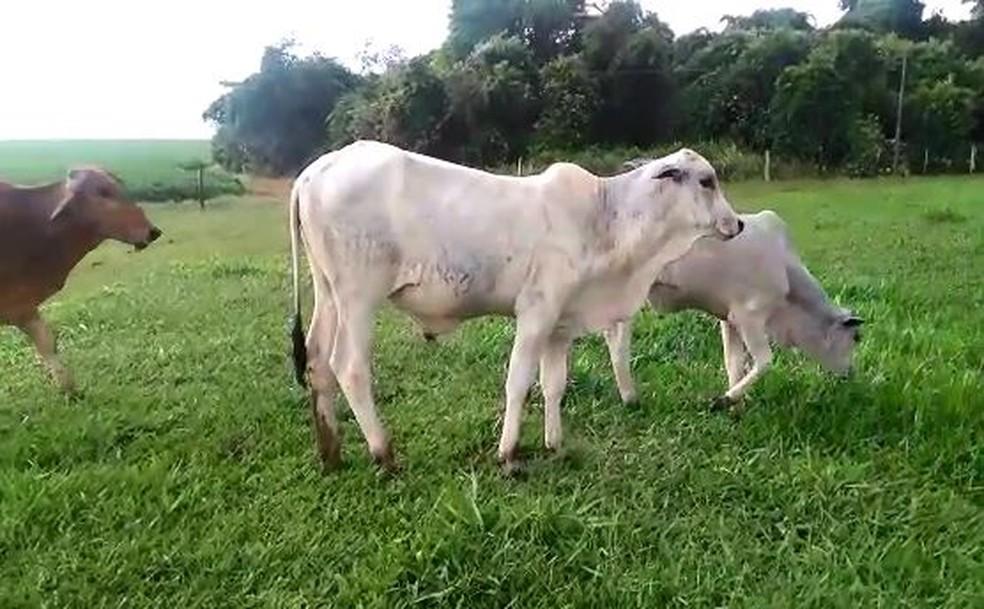 Animais foram furtados de sítio na zona rural de São Pedro do Turvo — Foto: Gilberto Aparecido Tavante/Arquivo pessoal