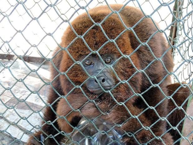 Macaco bugio foi resgatado pela Guarda Ambiental em Macaé (Fot Divulgação / Prefeitura)