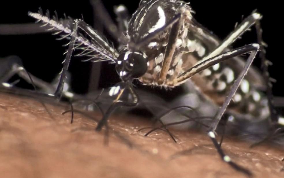Mosquito Aedes aegypti, transmissor da dengue, tem pintinhas brancas por todo o corpo. — Foto: Reprodução/EPTV