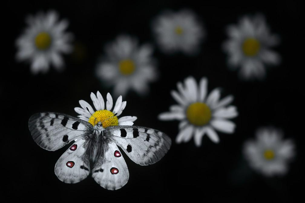 'Apollo pousando', por Emelin Dupieux, França. Uma borboleta Apollo pousa em uma margarida oxeye — Foto: Emelin Dupieux/Wildlife Photographer of the Year