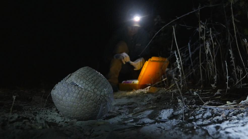 Ao se enrolar em uma bolinha, tatu-bola escapa de predadores - mas não da ação humana (Foto: Devian Zutter via BBC)