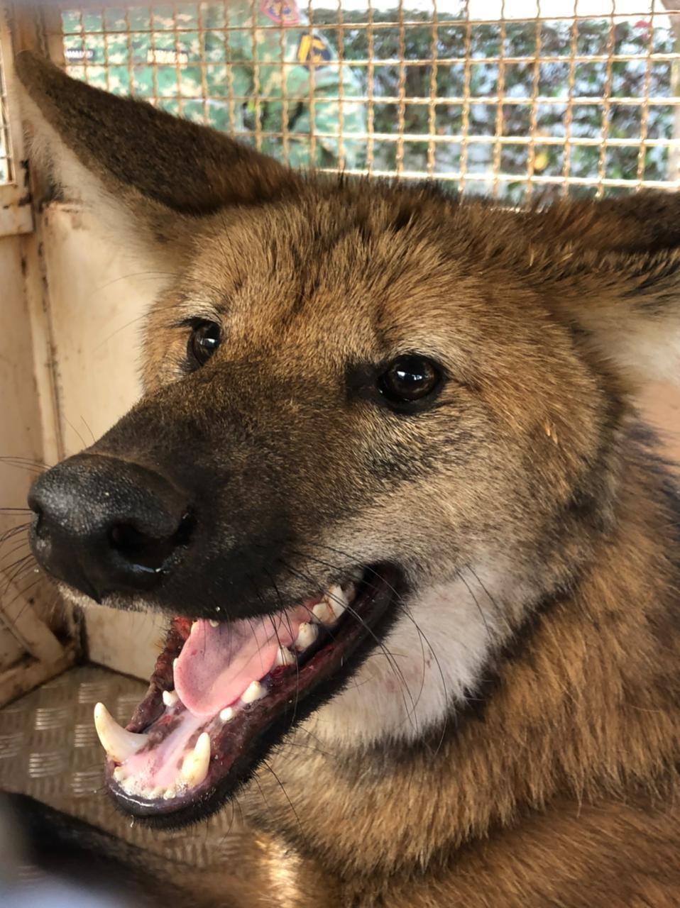 Lobo-guará resgatado em casa no Bairro Minas Gerais é solto na natureza após tratamento em Uberlândia; veja vídeo