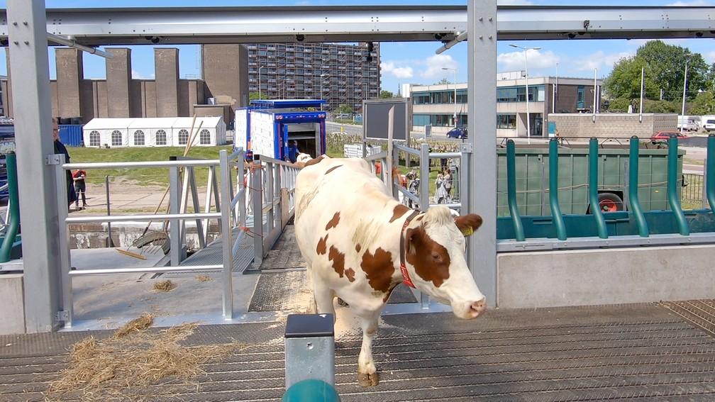 """Vaca entra na """"fazenda flutuante"""" na Holanda — Foto: Floatingfarm.nl/Handout via REUTERS"""