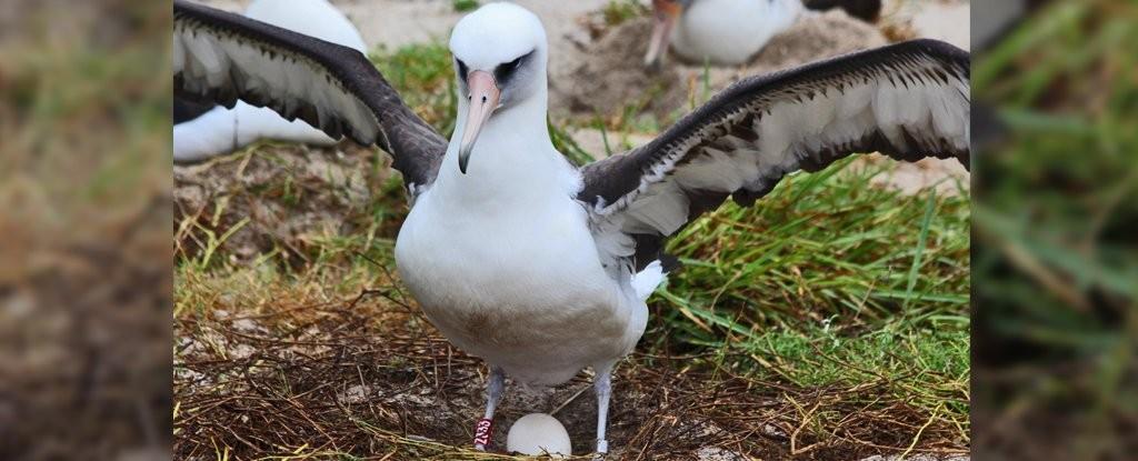 Wisdom, a albatroz de 68 anos que vive chocando ovos em ilha perto do Havaí (Foto: Madalyn Riley/USFWS)