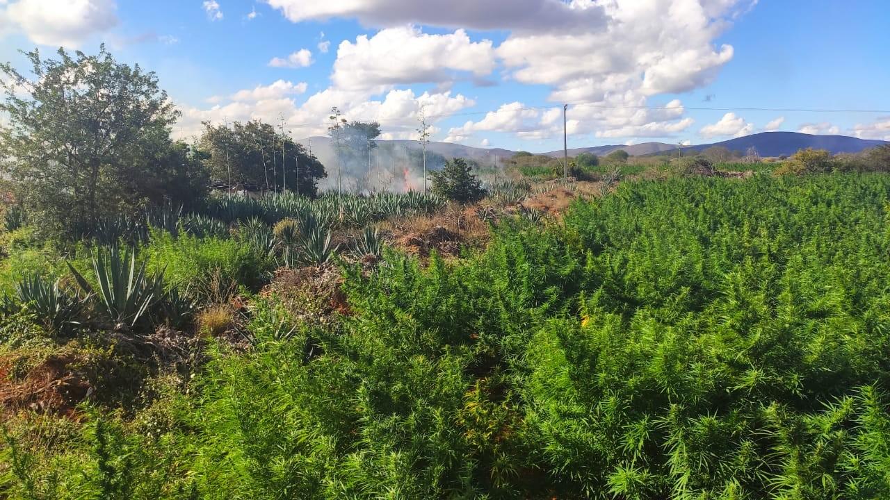 Polícia encontra e erradica plantação com cerca de 200 mil pés de maconha no norte da Bahia