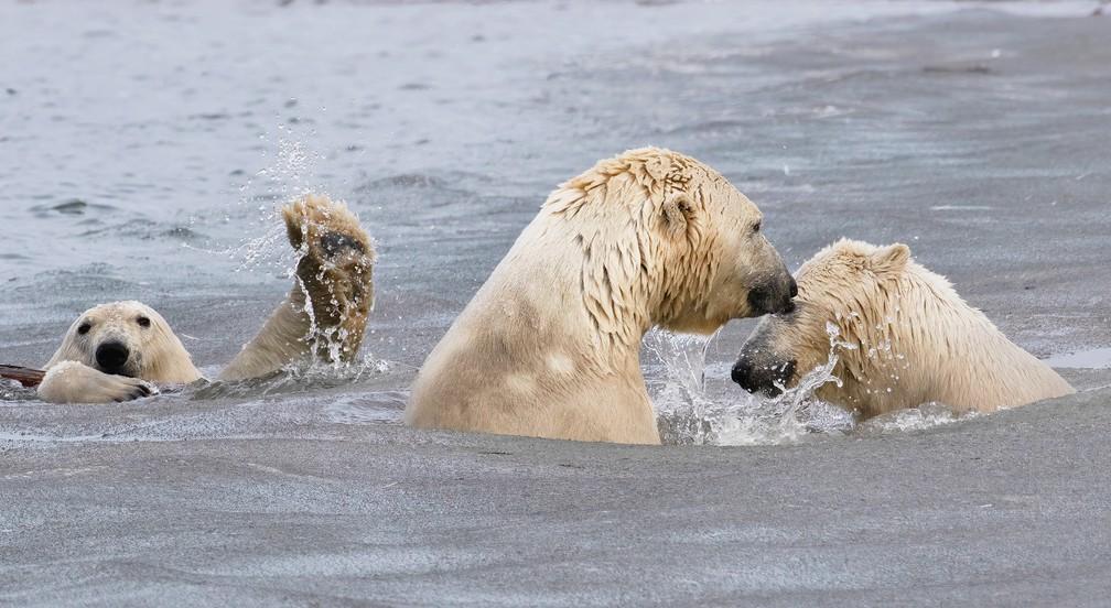 Pequena intromissão: mãe e filhote de urso polar (à frente) foram fotografados enquanto brincavam nas águas geladas do Ártico. Em segundo plano, à esquerda, um terceiro urso polar parece acenar para a foto, se 'intrometendo' na cena. — Foto: © Cheryl Strahl /Comedywildlifephoto.com