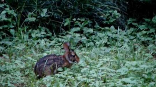 Conheça o coelho selvagem que vive no Brasil