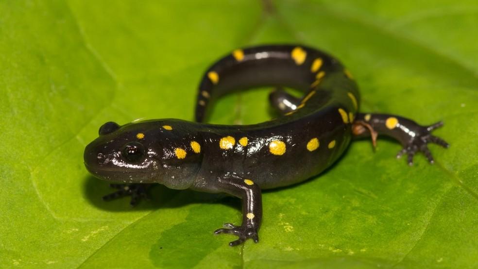 A salamandra manchada é o único exemplo de vertebrado que faz simbiose para realizar a fotossíntese — Foto: Getty Images via BBC