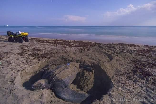Tartaruga Isla com o rastreador azul em seu casco. (Foto: Florida Leatherbacks)