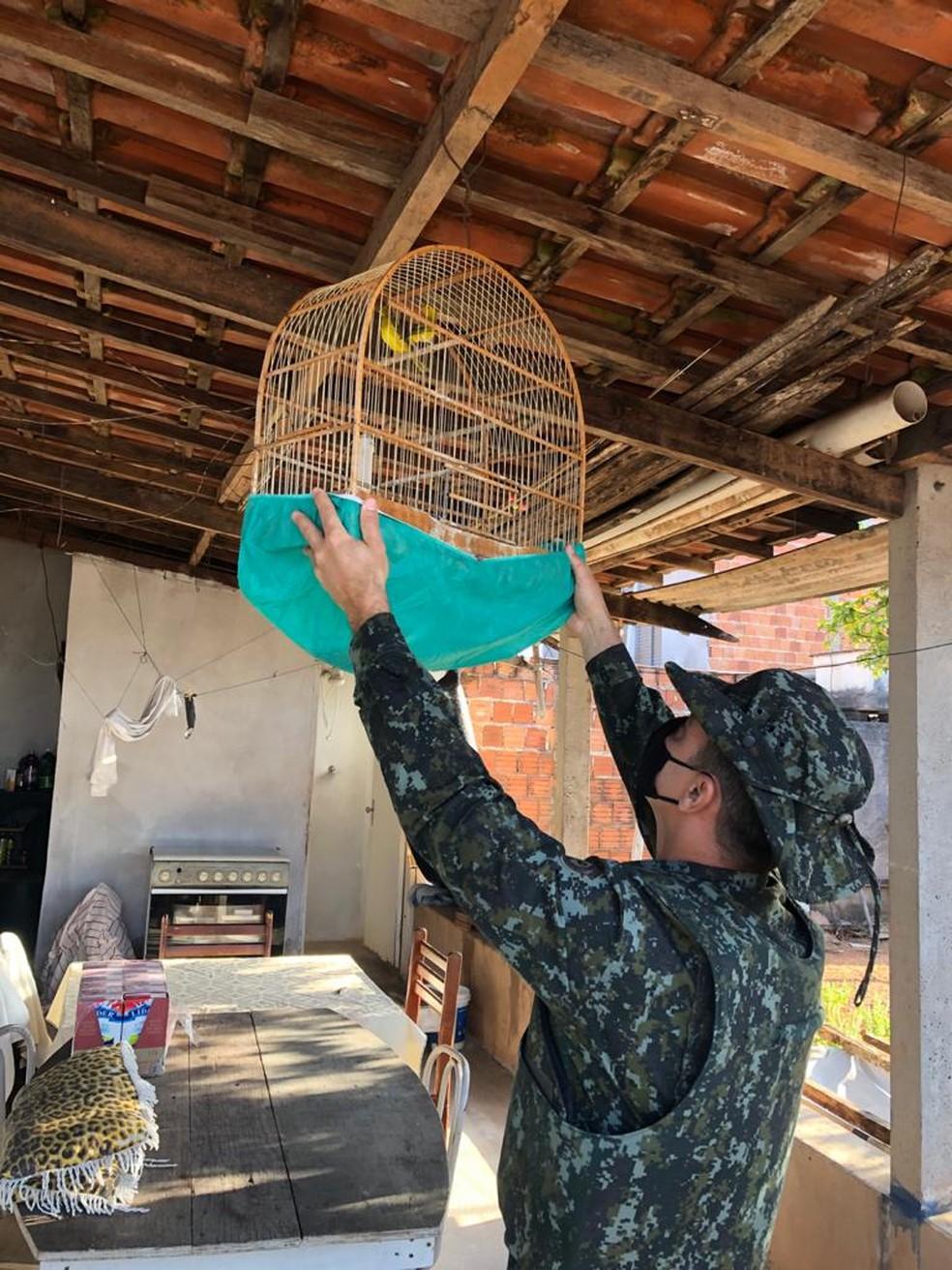 Canários da terra foram localizados em uma casa no Bairro Santa Antonieta II em Marília — Foto: Polícia Ambiental/Divulgação