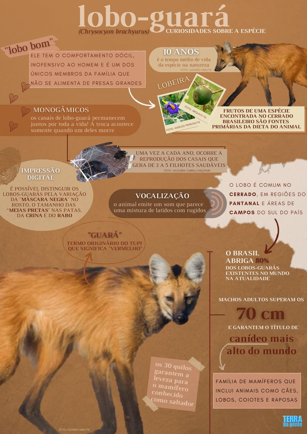 Conheça algumas curiosidades sobre o lobo-guará, animal que estampará a nota de R$200 — Foto: Gabriela Brumatti/TG