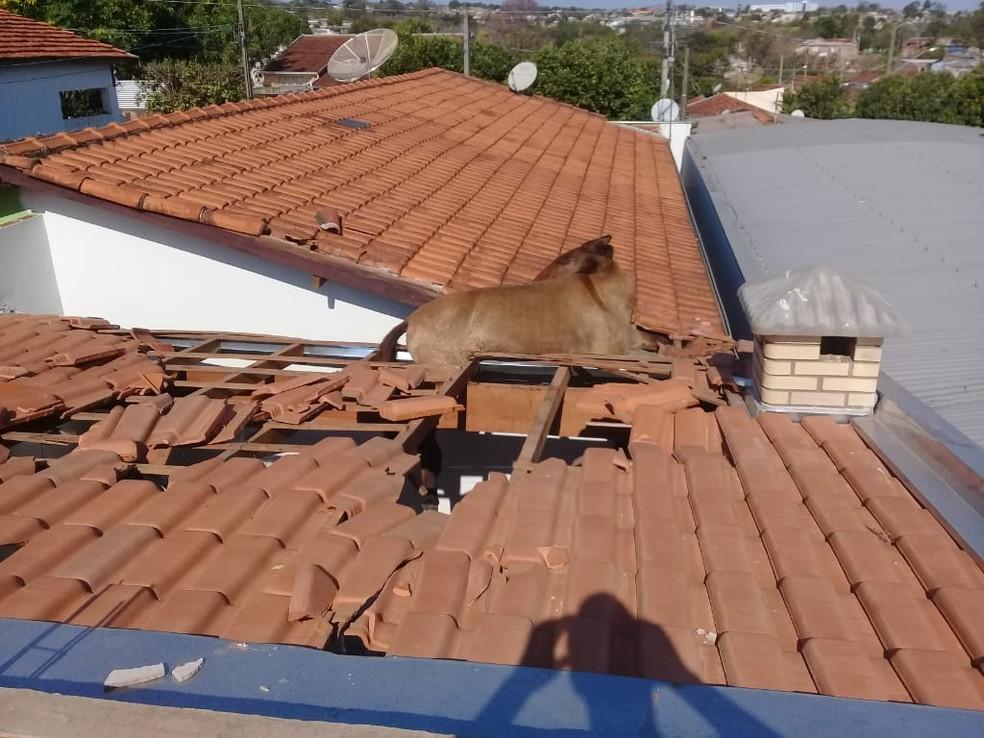 Cavalo que subiu no teto de uma casa chegou a quebrar algumas telhas, mas acabou resgatado sem ferimentos — Foto: Arquivo Pessoal/Ciro Augusto
