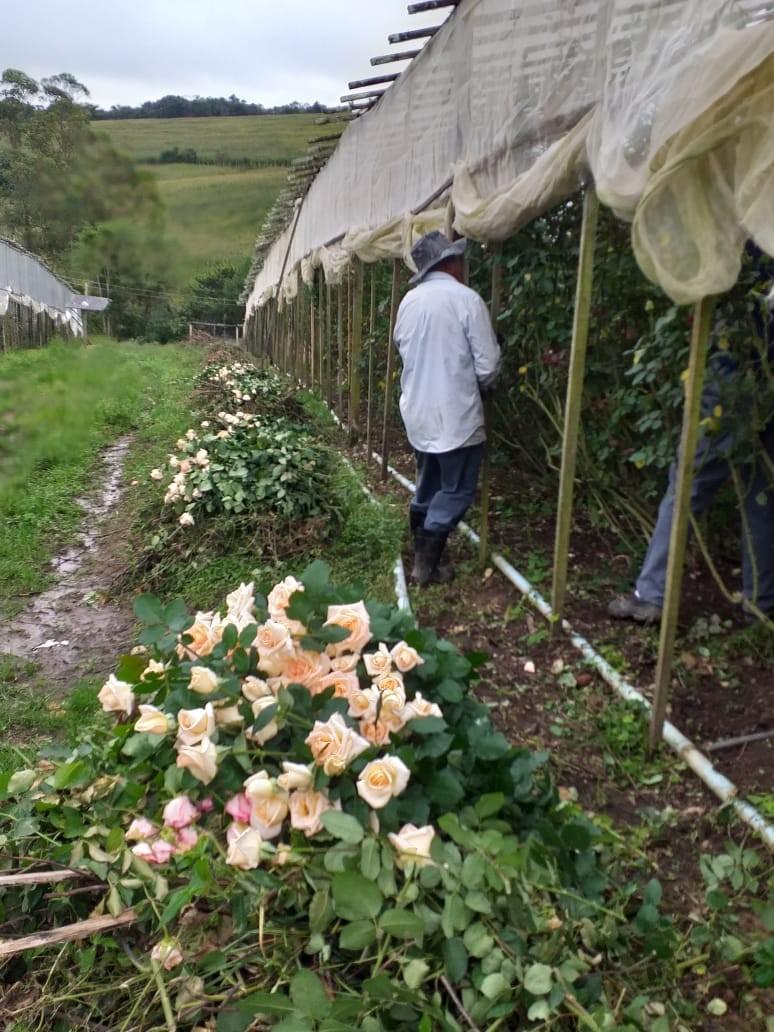 Produtores de flores em Minas Gerais estão jogando colheitas no lixo por causa da crise do coronavírus
