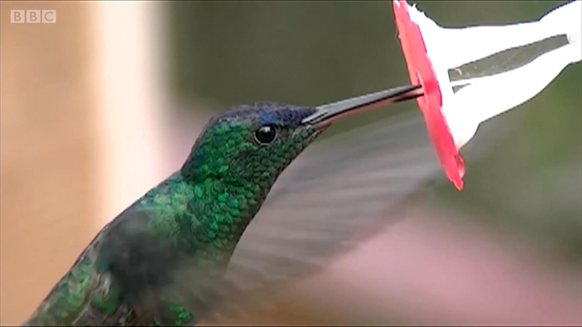 Biólogo cria flor de vidro para desvendar segredo da língua do beija-flor