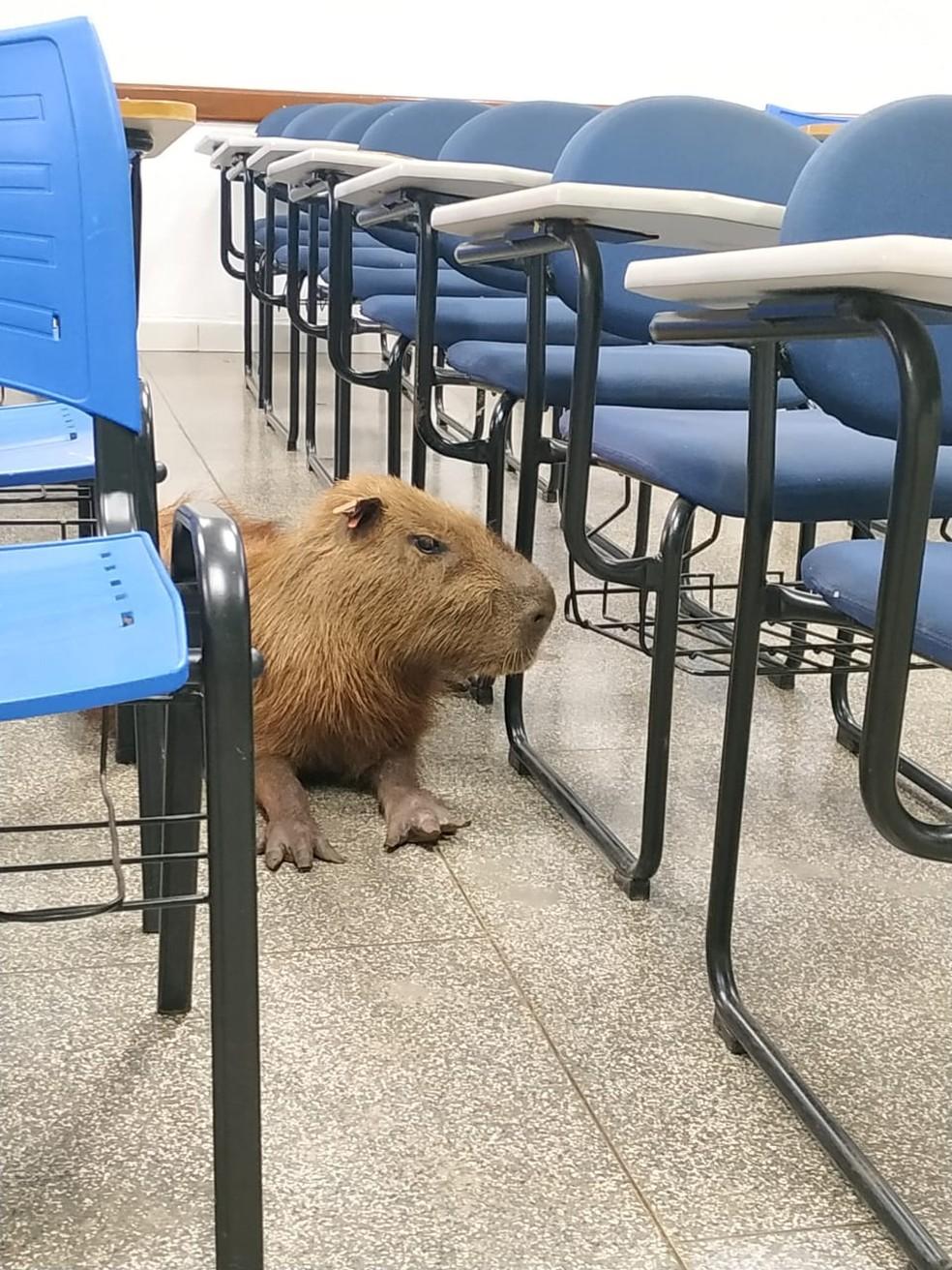 Capivara é flagrada por acadêmica dentro de sala de aula na UFMS — Foto: Gabriella Oguro/Arquivo Pessoal