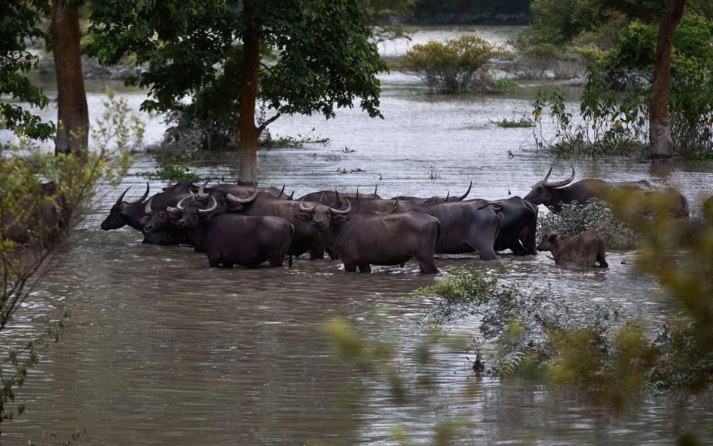 Búfalos asiáticos atravessam área alagada no santuário selvagem Pobitora, ao leste de Gauhati, na Índia, na sexta-feira (19) — Foto: AP Photo/Anupam Nath