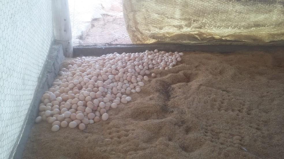 Ovos fertilizados separados para descarte em granja no DF (Foto: Seagri/Divulgação)