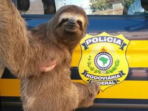 Bicho preguiça foi resgatado pela Polícia Rodoviária Federal. (Fot Divulgação / PRF)
