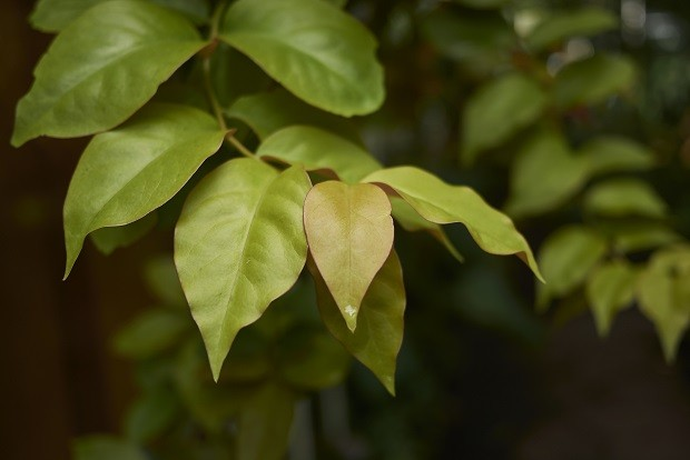 Pereskia aculeata leaves close up (Foto: Getty Images/iStockphoto)