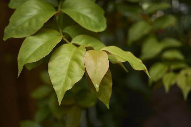 Pereskia aculeata leaves close up (Foto: Getty Images/iStockphoto)