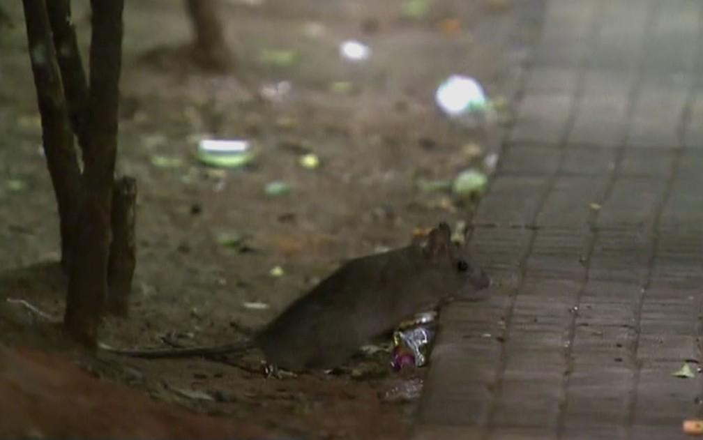 Ratos são problemas em grandes centros urbanos — Foto: Reprodução/TVGlobo
