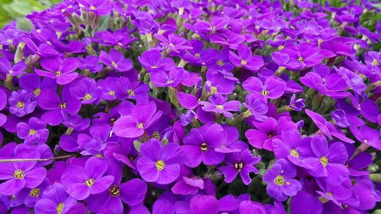 violeta-flor (Foto: Pixabay/BeckerBuben/Creative Commons)