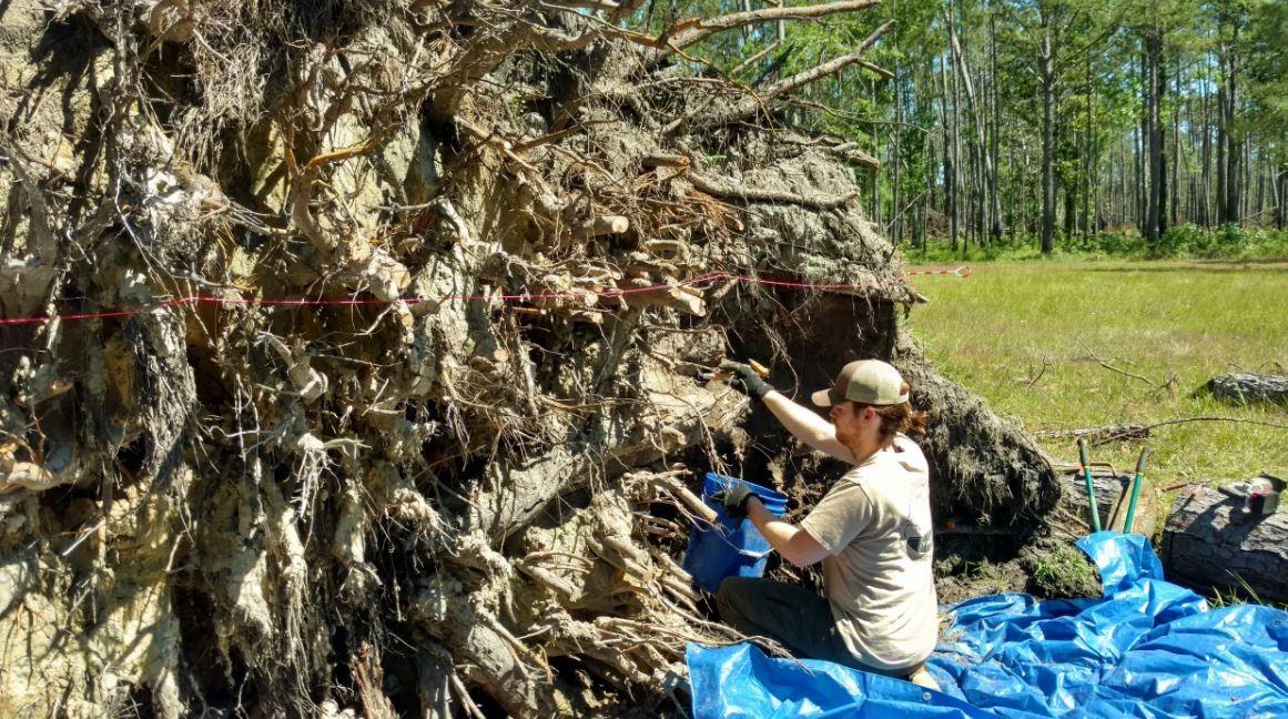 Arqueóloga Andrea Repp mede buracos criados por quedas de árvores após Furacão Michael atingir a Flórida. Após a passagem do fenômeno, foram encontrados artefatos de um forte onde viveram escravos  (Foto: Rhonda Kimbrough)
