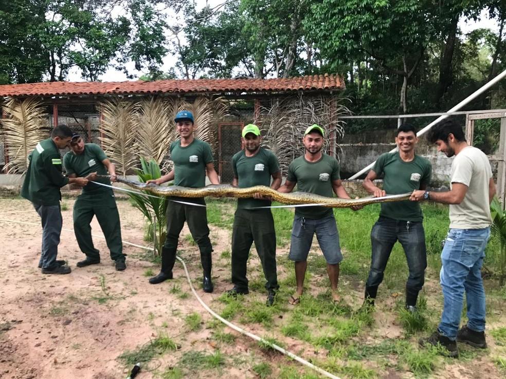 A sucuri capturada pelos bombeiros foi entregue ao ZooUnama de Santarém, no Pará — Foto: ZooUnama/Divulgação