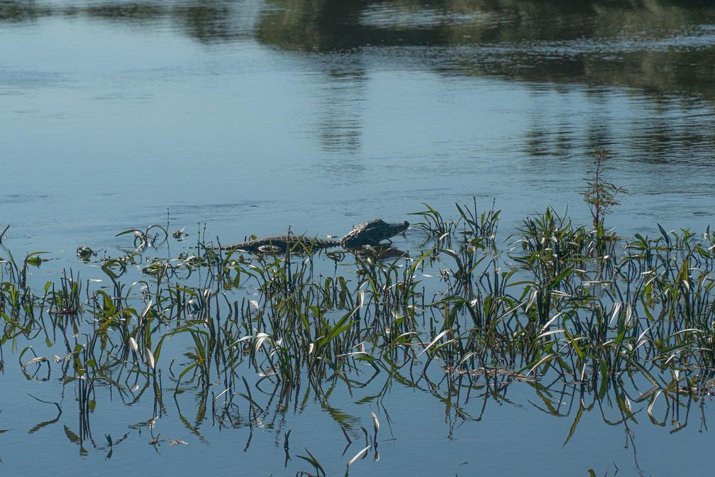 Jacaré nada no Rio São Lourenço, também conhecido como Rio Cuiabá, dentro do território do Parque Nacional do Pantanal Matogrossense — Foto: Eduardo Palacio/G1