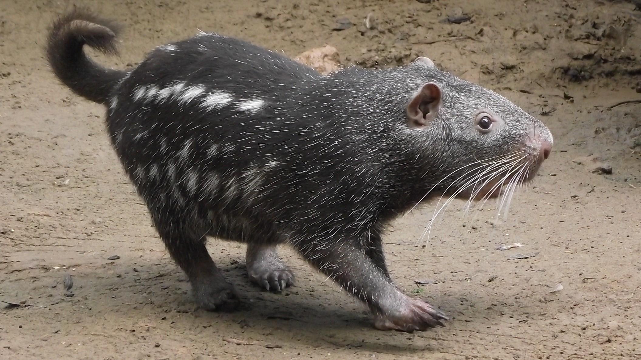 Pacarana (Dinomys branickii) (Foto: Leonardo Kerber)