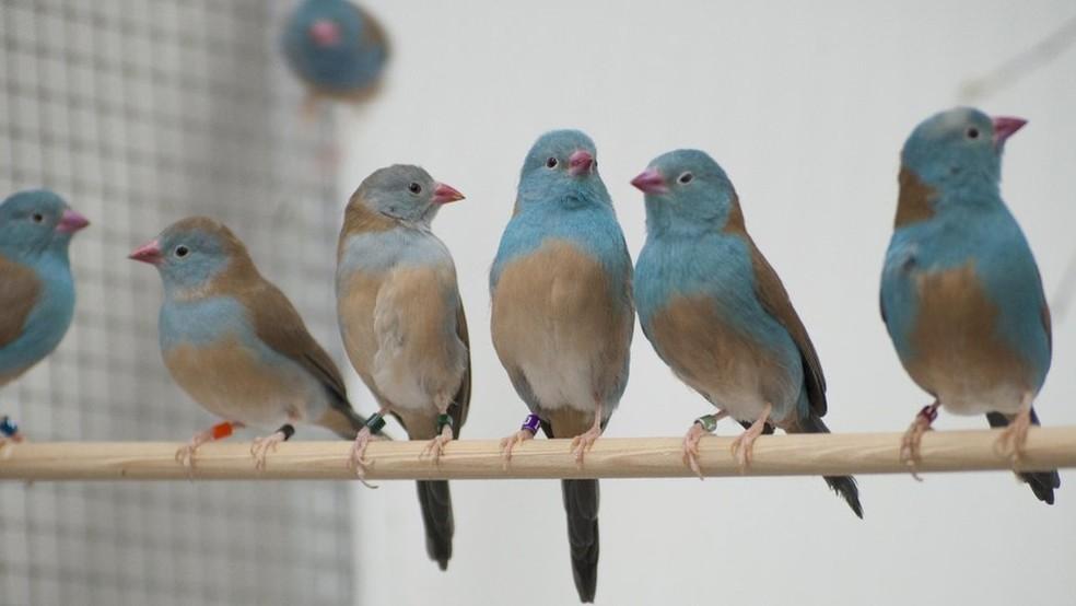 Para analisar o comportamento dos pássaros, os pesquisadores colocaram os casais em ambientes com e sem audiência — Foto: Nao Ota/BBC