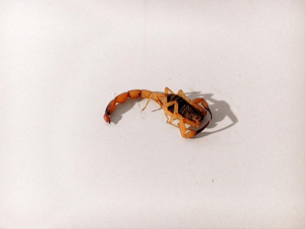 Moradora de Sorocaba foi picada por escorpião do tipo amarelo — Foto: Arquivo pessoal