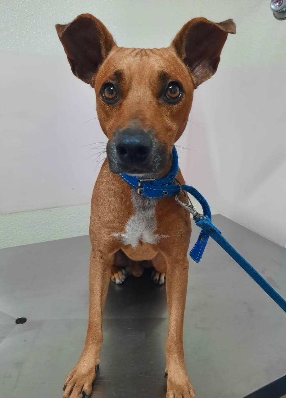 Cão foge de casa e volta com sinais de agressão e lesão no ânus em Maceió