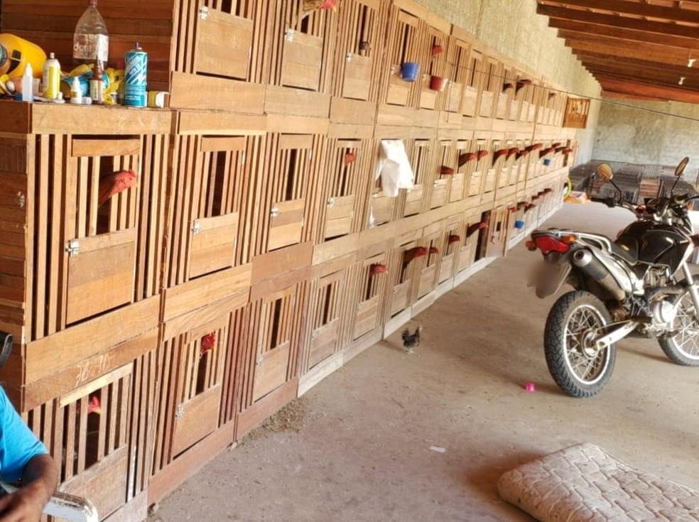 Mais de 100 galos criados para rinha foram apreendidos na Grande Natal — Foto: Polícia Civil/Divulgação