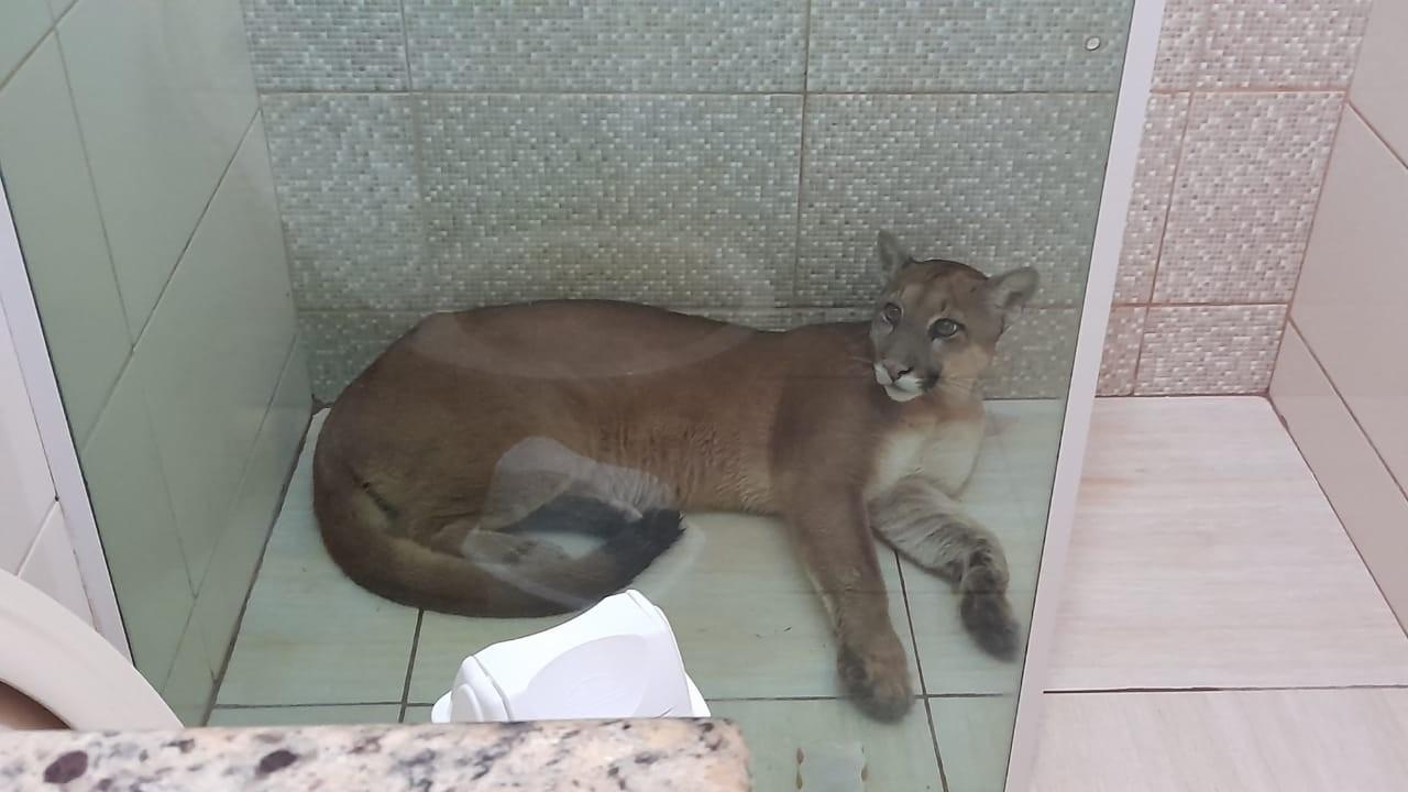 Onça parda é capturada em boxe de banheiro de casa em São Pedro