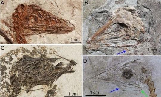 Setas coloridas apontam para região dos ossos hioides em fósseis de dinossauros (Foto: Reprodução/Li et al. 2018)