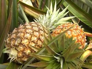 Nosso Campo fala da expectativa da safra de abacaxi (Foto: Nosso Campo / TV TEM)