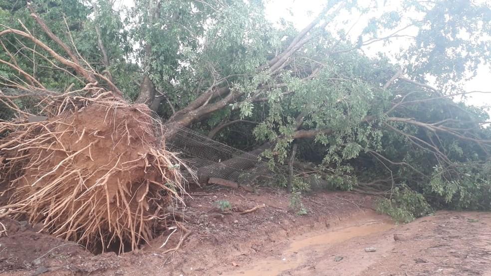 Árvore cai durante temporal em Cáceres (MT). — Foto: Divulgação
