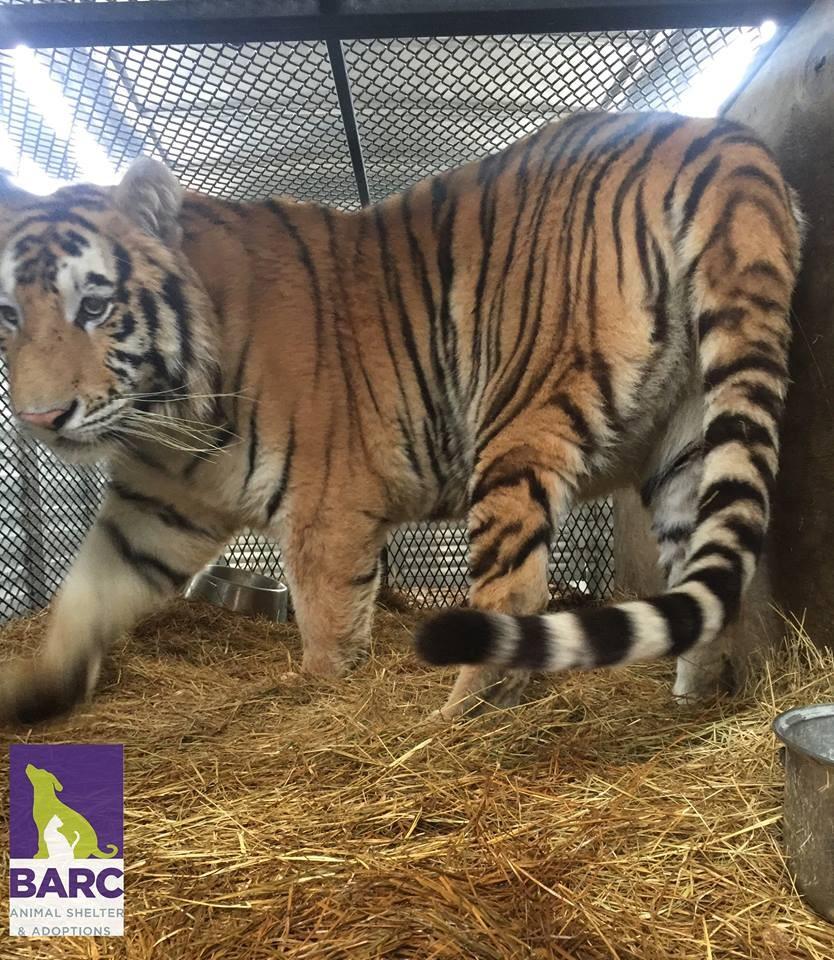 Tigre resgatado de casa abandonada foi para rancho de animais (Foto: BARC/Facebook)