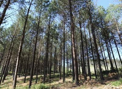 reflorestamento-pinus-parana (Foto: Joel Rocha/Editora Globo)
