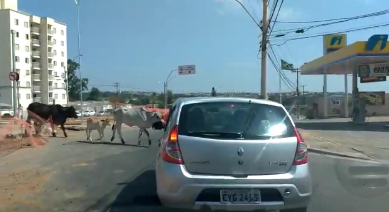Morador flagra gado cruzando a Avenida Ruy Rodrigues, em Campinas - Notícias - Plantão Diário