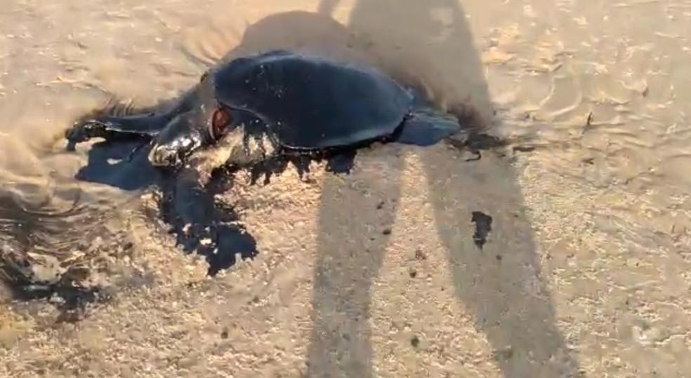 Tartaruga é encontrada morta em ilha do Delta do Parnaíba, na divisa com o Piauí — Foto: Reprodução