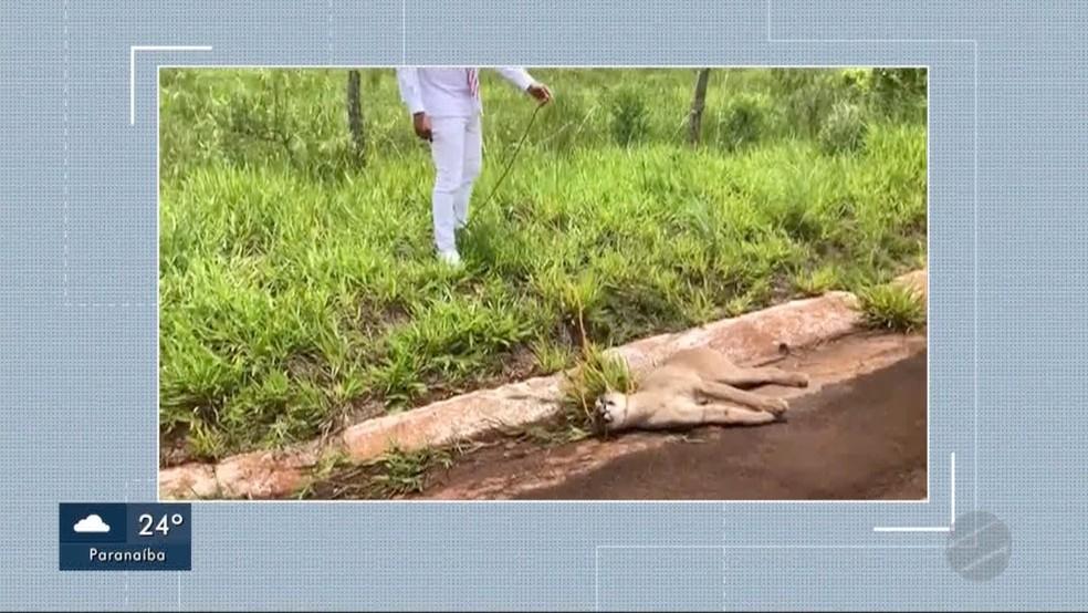 Onça-parda ferida em rodovia de MS — Foto: Reprodução/TV Morena