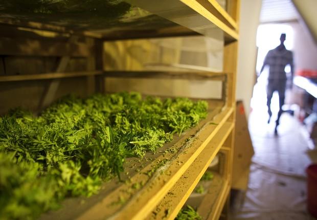 Plantas de cannabis secam em uma instalação da companhia Tikun Olam, próximo à cidade de Safed, em Israel. Em conjunto com o Ministério da Saúde de Israel, Tikon Olam está distribuindo maconha para uso medicinal no país (Foto: Uriel Sinai/Getty Images)