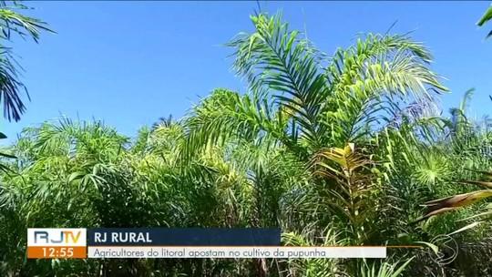 Agricultores de Paraty apostam no cultivo da pupunha