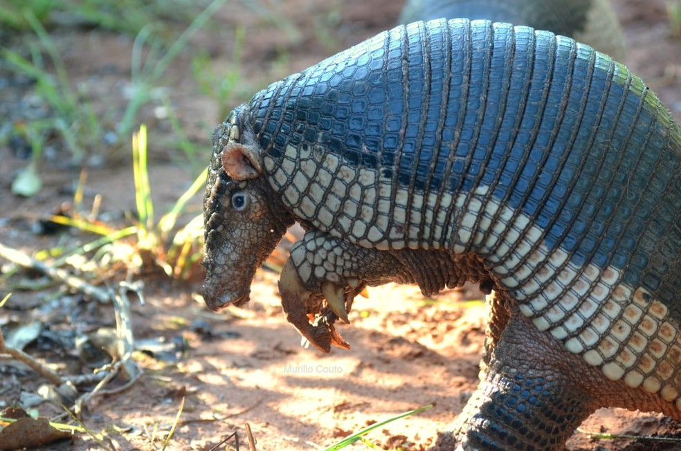 O tatu-canastra é espécie típica do Cerrado, mas pode ser encontrada em outros biomas — Foto: Murillo Couto/VC no TG