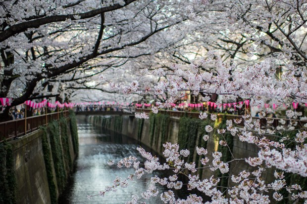 TOKYO, JAPAN - MARCH 26:  Visitors cross a bridge as cherry blossom hangs over the Meguro River in Nakameguro on March 26, 2018 in Tokyo, Japan. The Japanese have a long-held tradition of enjoying the blooming of cherry blossoms. The blossom is deeply sym (Foto: Getty Images)