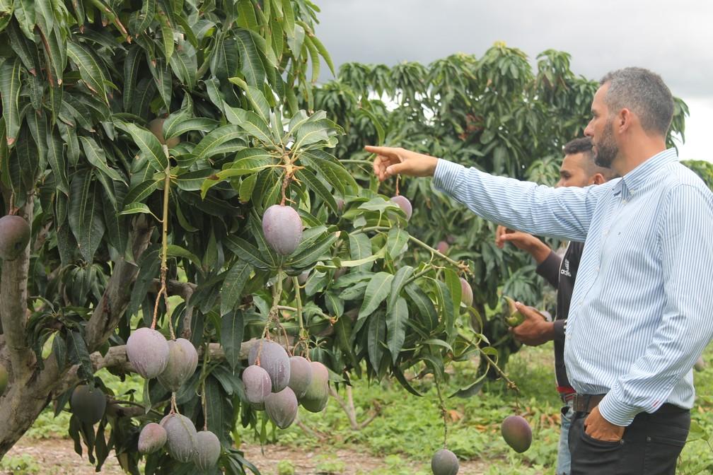 Engenheiro agronomo analisa a árvore onde a manga apareceu (Foto: Emerson Rocha)